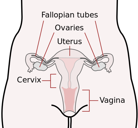 Scheme_female_reproductive_system-en.svg